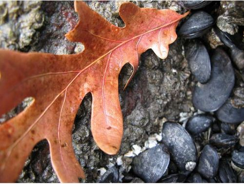 Leaf Among Mussels November 9, 2007