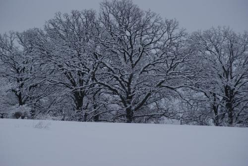 Winter of the Oaks