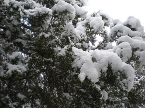 Snow on Cedars