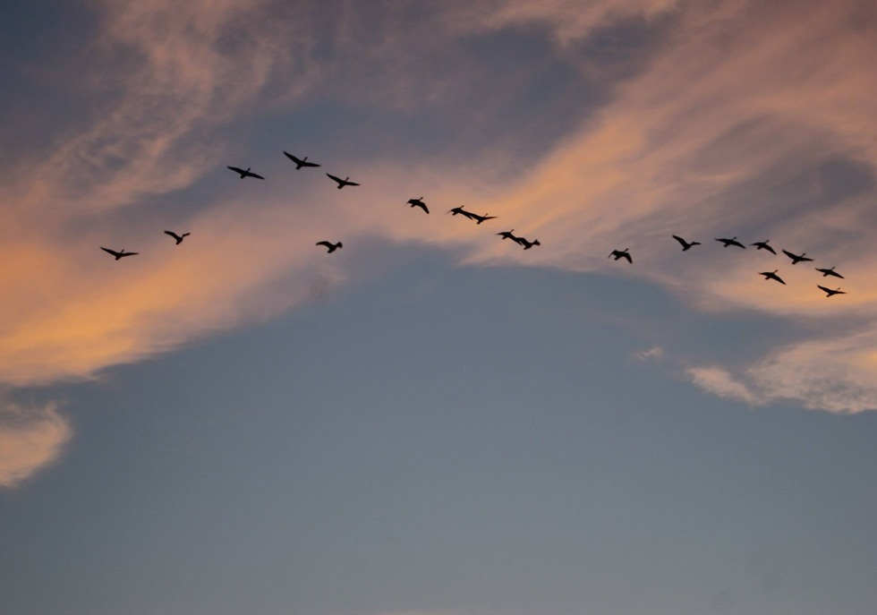 Geese in a sunset sky