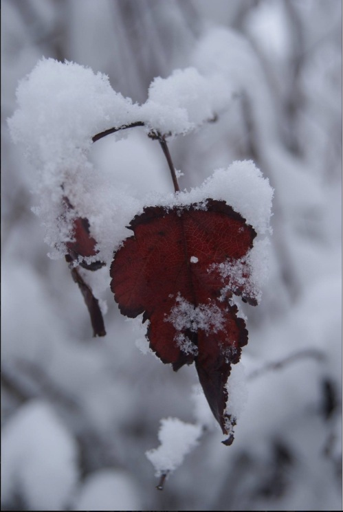 red-leaf-dressed-in-snow