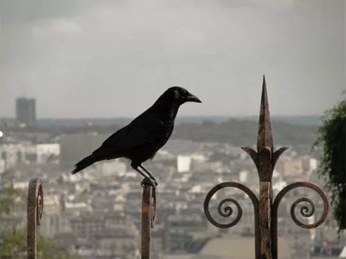 crow-near-sacre-cour